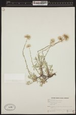 Image of Antennaria rosea