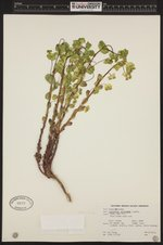 Image of Euphorbia crenulata