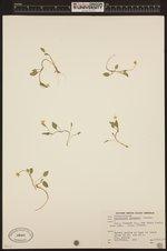 Ranunculus gormanii image