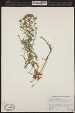 Symphyotrichum subspicatum image
