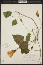 Image of Ipomoea purpurea