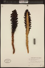 Kopsiopsis strobilacea image