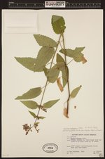 Stachys chamissonis image