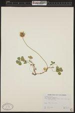 Image of Trifolium repens