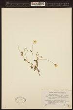 Nemophila menziesii var. atomaria image