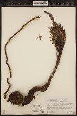 Image of Aphyllon pinorum