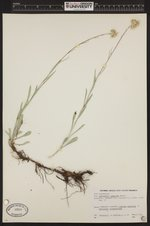 Antennaria argentea image