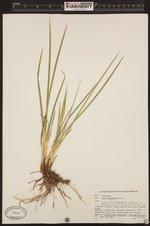Iris bracteata image