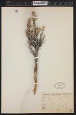 Image of Artemisia spinescens