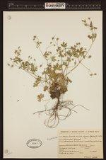 Image of Geranium bicknellii