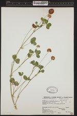 Image of Trifolium hybridum