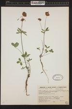 Trifolium productum image