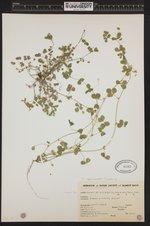 Image of Trifolium campestre