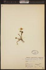 Image of Ranunculus glaberrimus