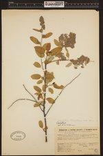 Image of Ceanothus thyrsiflorus