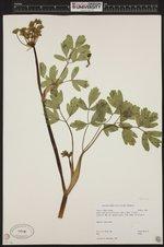 Image of Lomatium californicum