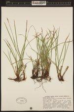 Image of Carex geyeri