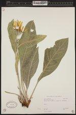 Image of Wyethia mollis