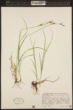 Image of Carex aurea