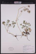 Image of Geranium carolinianum