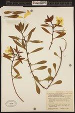 Image of Ludwigia hexapetala