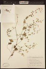 Image of Geranium pusillum