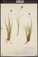 Image of Carex breweri
