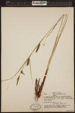Image of Carex lanuginosa