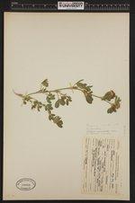 Image of Trifolium wormskioldii