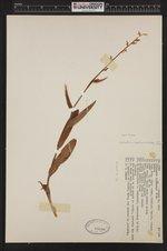 Image of Platanthera hyperborea