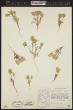 Image of Chaenactis macrantha