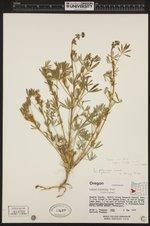 Lupinus bicolor image