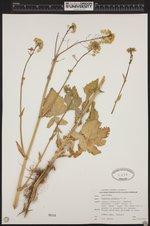 Image of Barbarea vulgaris