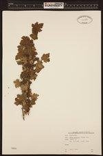 Ribes lacustre image