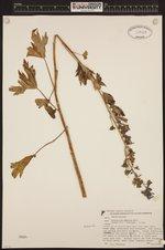 Image of Delphinium glaucum
