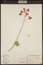 Image of Delphinium nudicaule