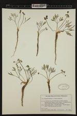 Lomatium fusiformis image