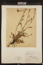 Image of Potentilla biennis