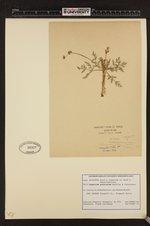 Lomatium peckianum image