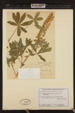 Lupinus latifolius var. viridifolius image