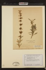 Penstemon deustus var. pedicellatus image