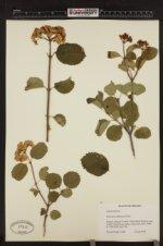 Viburnum ellipticum image