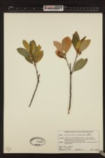 Chrysolepis sempervirens image