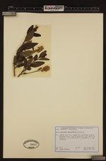 Ceanothus thyrsiflorus image