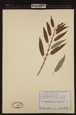 Image of Salix prolixa