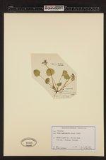 Image of Viola nephrophylla