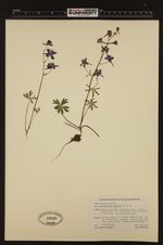 Image of Delphinium decorum