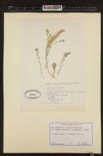Image of Alyssum simplex