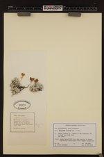 Image of Eriogonum incanum