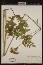 Perideridia howellii image